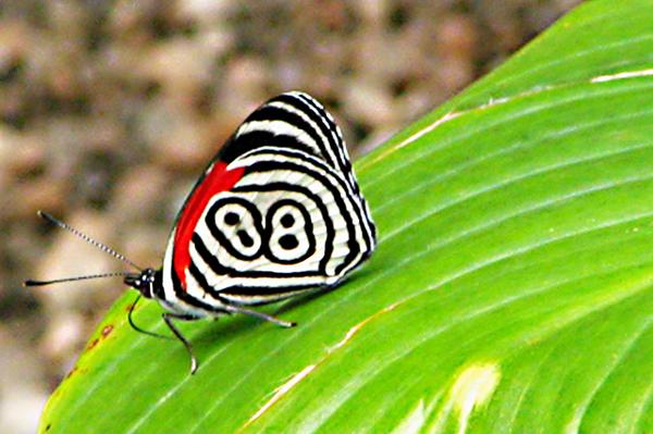 "perierga.gr - Η ""τυχερή"" πεταλούδα με το Νο 88!"