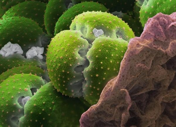 perierga.gr - Οι κόκκοι της γύρης στο μικροσκόπιο!