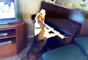 perierga.gr - Σκύλος... πιανίστας και τραγουδιστής!