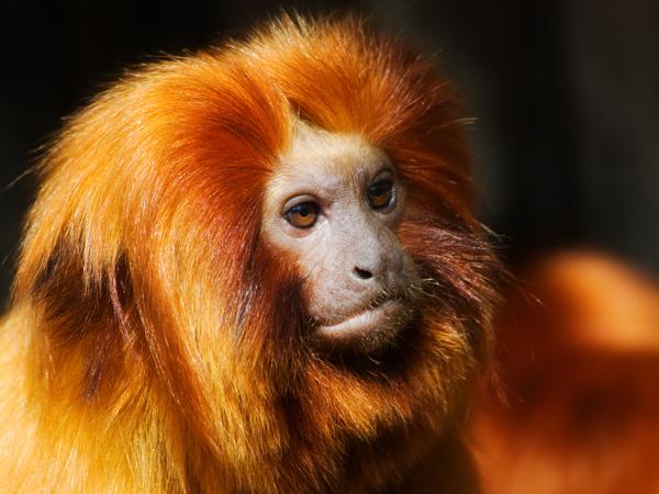 perierga.gr - Πώς μια μαϊμού γίνεται... χρυσό λιοντάρι;