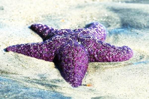 Perierga.gr - Ένας σπάνιος μοβ αστερίας!