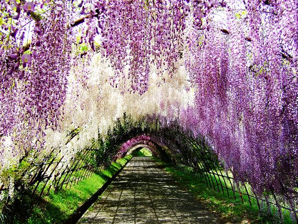 perierga.gr - Ο παράδεισος έχει ένα όνομα: Wisteria Tunnel!
