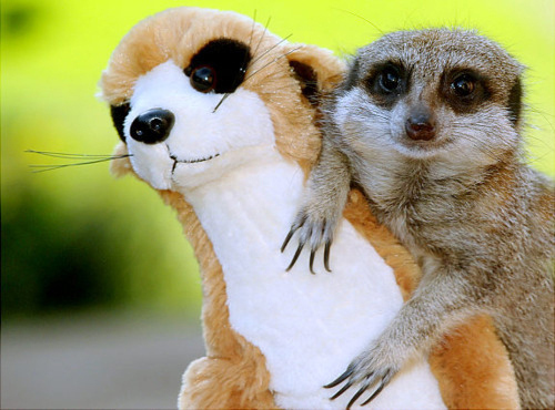 perierga.gr - 20 ζώα ποζάρουν μαζί με τα λούτρινα ομοιώματά τους!