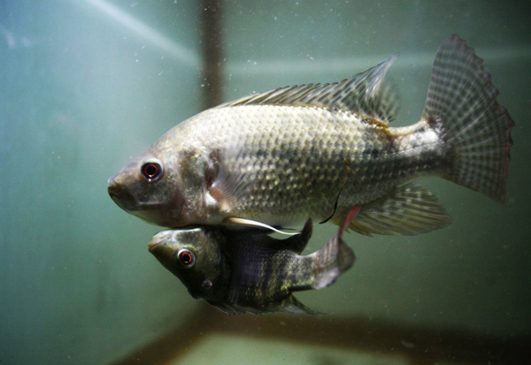 "perierga.gr - ""Σιαμαία"" ψάρια ζουν σε ενυδρείο της Μπανγκόκ!"