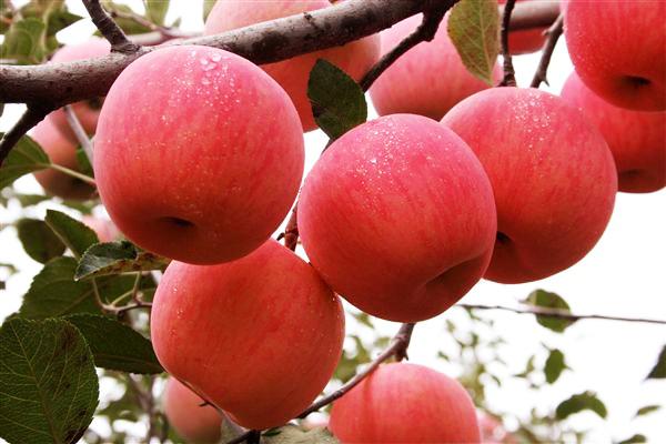perierga.gr - Αχλαδόμηλο: Ένα ολοκαίνουργιο φρούτο!
