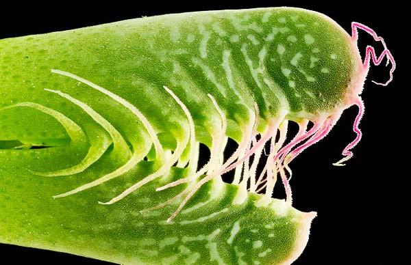 "perierga.gr - Faucaria Tigrina: Ένα φυτό ""άλιεν""!"