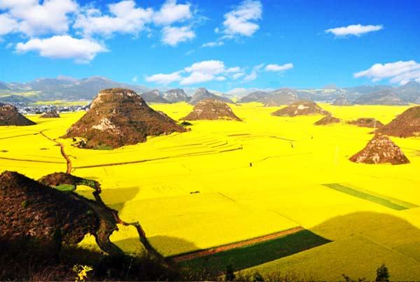 perierga.gr - Κανόλα: Ένας κίτρινος παράδεισος!