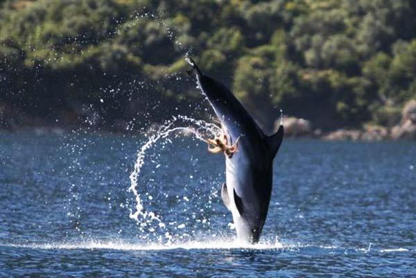 "perierga.gr - Χταπόδι ""κόλλησε"" πάνω σε δελφίνι!"