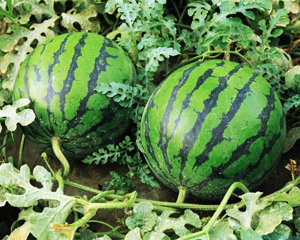 perierga.gr - 10 πράγματα που δεν ξέρετε για το καρπούζι!