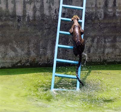 perierga.gr - Τι θέλει μια λεοπάρδαλη πάνω στη σκάλα;