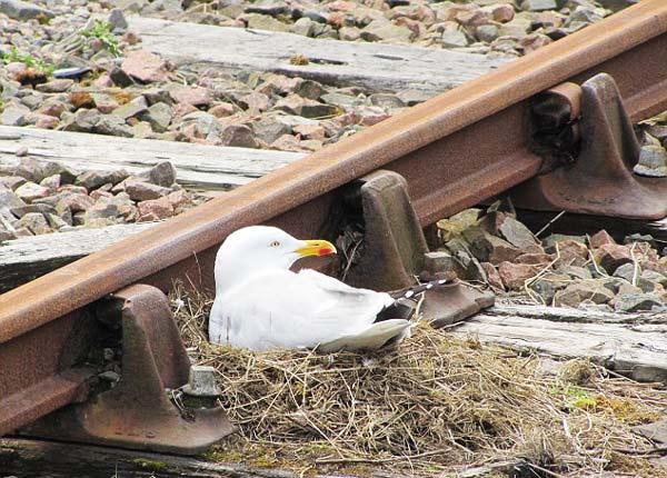 perierga.gr - Γλάρος έκανε φωλιά δίπλα στις γραμμές του τρένου!