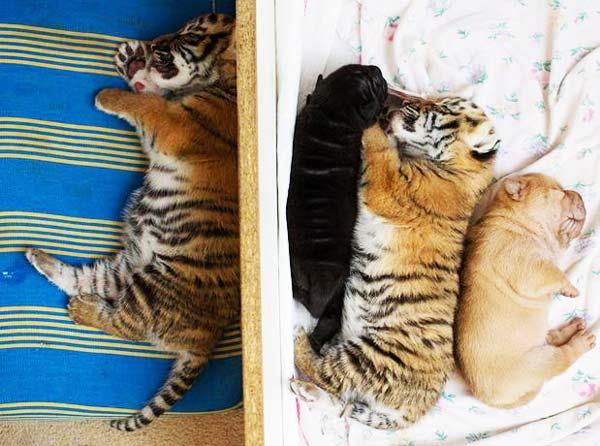 perierga.gr - Σκυλίτσα υιοθετεί μικρά τιγράκια!