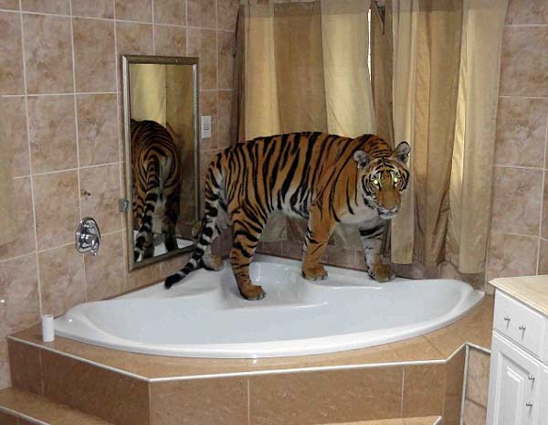 perierga.gr - Μοιράζονται το σπίτι τους με μια τίγρη της Βεγγάλης!