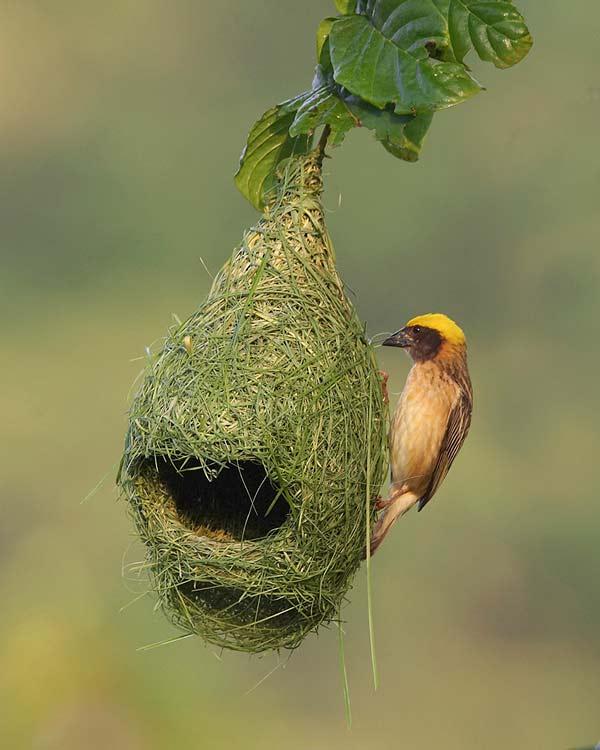 perierga.gr - Απίθανα πουλιά... αρχιτέκτονες!