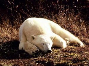 perierga.gr - Μια πολική αρκούδα περιπλανιέται στο Λονδίνο!