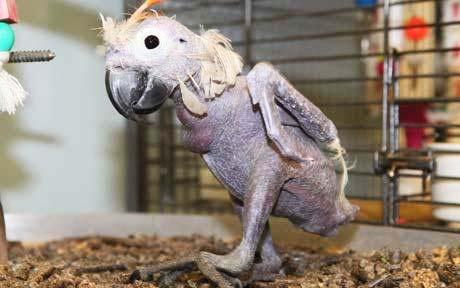 "perierga.gr - Ένας ""καραφλός"" παπαγάλος!"