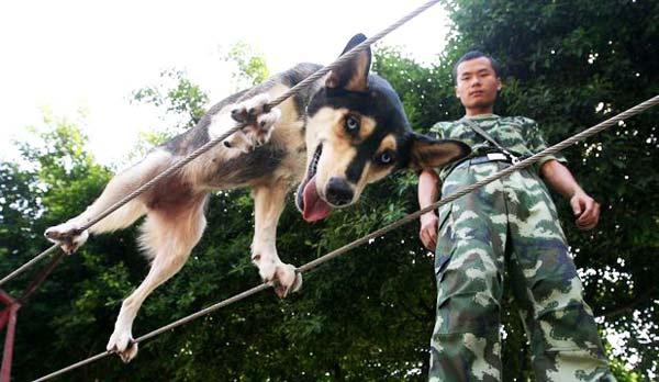 perierga.gr - Σκυλιά-διασώστες περπατούν σε τεντωμένο σχοινί!