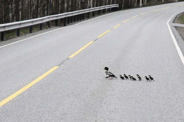 perierga.gr - Παπάκια διασχίζουν τον αυτοκινητόδρομο!