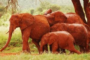 Ασυνήθιστοι κόκκινοι ελέφαντες στην Κένυα!
