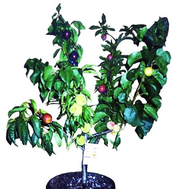 perierga.gr - Ένα δέντρο... φρουτοσαλάτα!