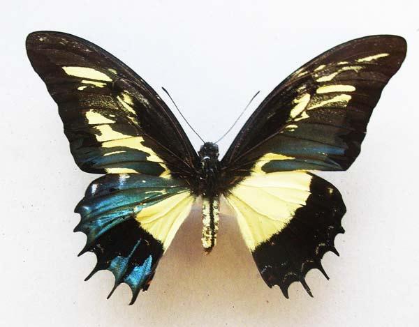 "perierga.gr - Μια συνήθιστη ""ερμαφρόδιτη"" πεταλούδα!"