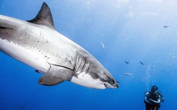 perierga.gr - Παράτολμος δύτης κολυμπά με λευκούς καρχαρίες!
