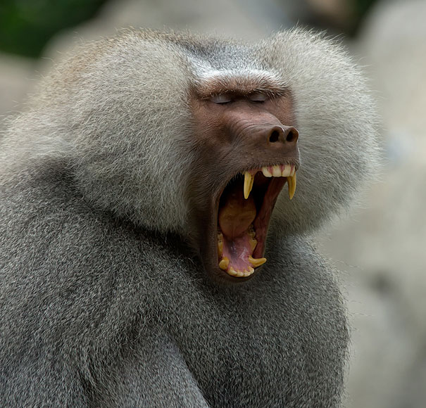 perierga.gr - Όταν τα ζώα... χασμουριούνται!