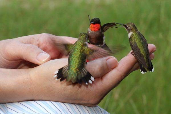 perierga.gr - Το μικρότερο πουλί στον κόσμο σε μέγεθος... μέλισσας!