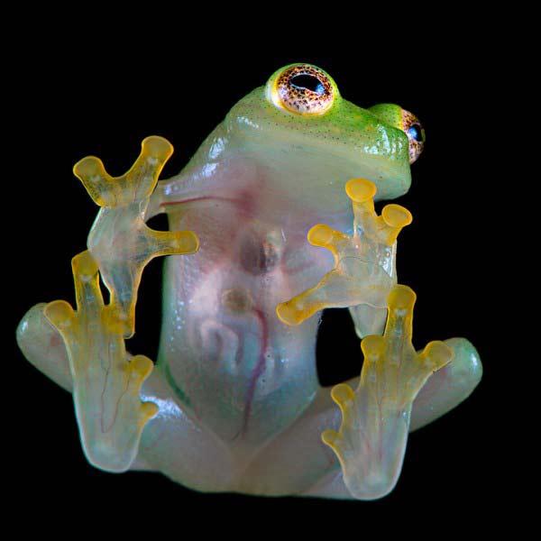 "perierga.gr - Ο περίεργος ""γυάλινος"" βάτραχος!"