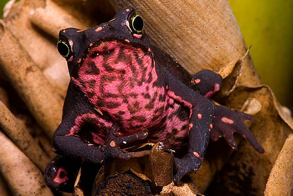 perierga.gr - Ο παράξενος βάτραχος... κλόουν!