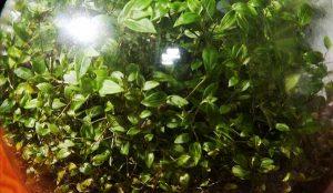 """""""Αθάνατο"""" φυτό ζει 40 χρόνια σε μπουκάλι χωρίς αέρα και νερό!"""