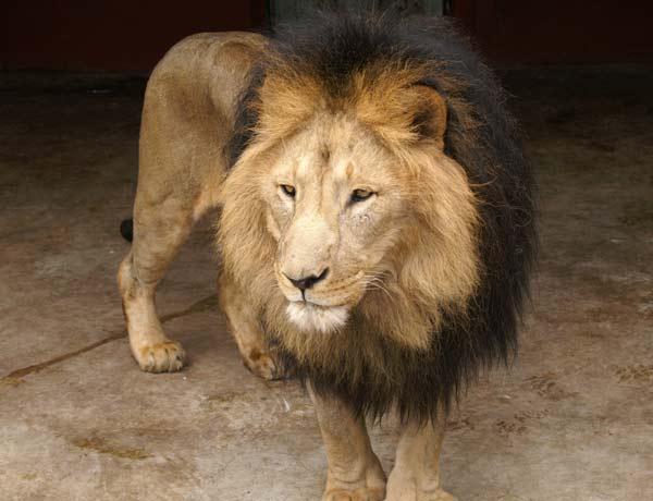 perierga.gr - Εντοπίστηκαν γενετικά σπάνια λιοντάρια