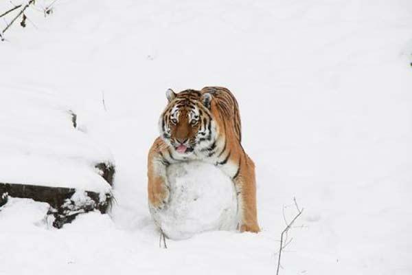 perierga.gr - Ακόμα και μια τίγρης δεν αντιστέκεται στον χιονοπόλεμο!