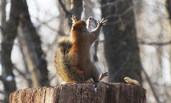 perierga.gr - Μονομαζία δύο σκίουρων για ένα φιστίκι!