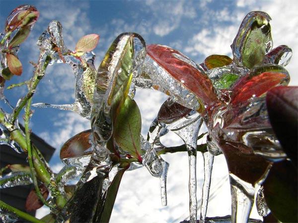 perierga.gr - Εκπληκτικά λουλούδια μπαίνουν στον... πάγο!