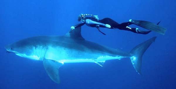 perierga.gr - Εκδήλωση αγάπης σε έναν... καρχαρία!