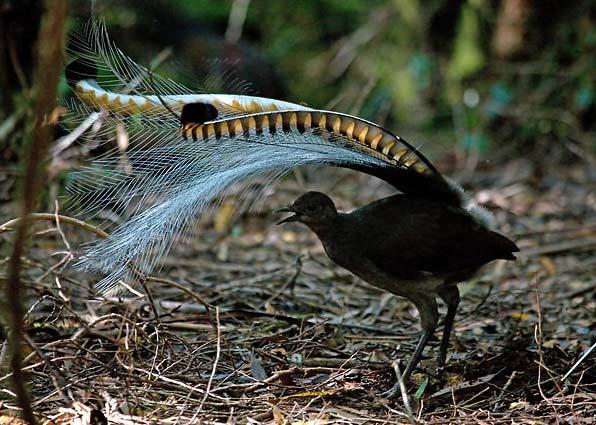 perierga.gr - Μήνουρος: Το σπάνιο πουλί που μιμείται διάφορους ήχους!
