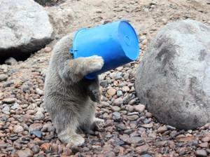 perierga.gr - Μικρό αρκουδάκι κάνει σόου με έναν κουβά!