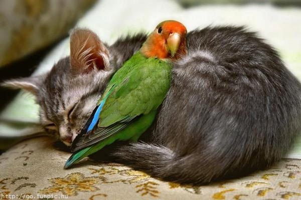 perierga.gr - παπαγάλος VS γάτας: Η μάχη για το φαγητό!