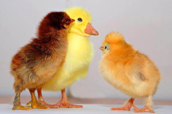 perierga.gr - Πάπια γέννησε... κοτόπουλο!