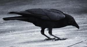 perierga.gr - Πόσο έξυπνο είναι ένα κοράκι;