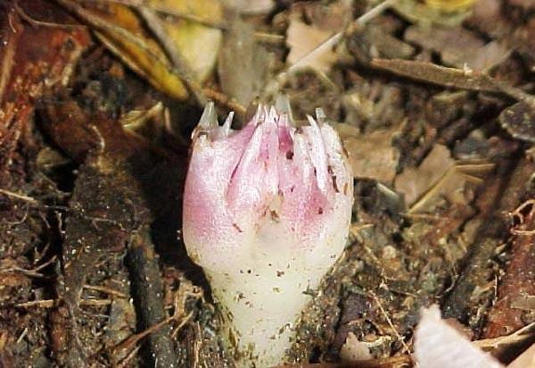 perierga.gr - Η σπάνια ορχιδέα που ανθίζει κάτω από το έδαφος!