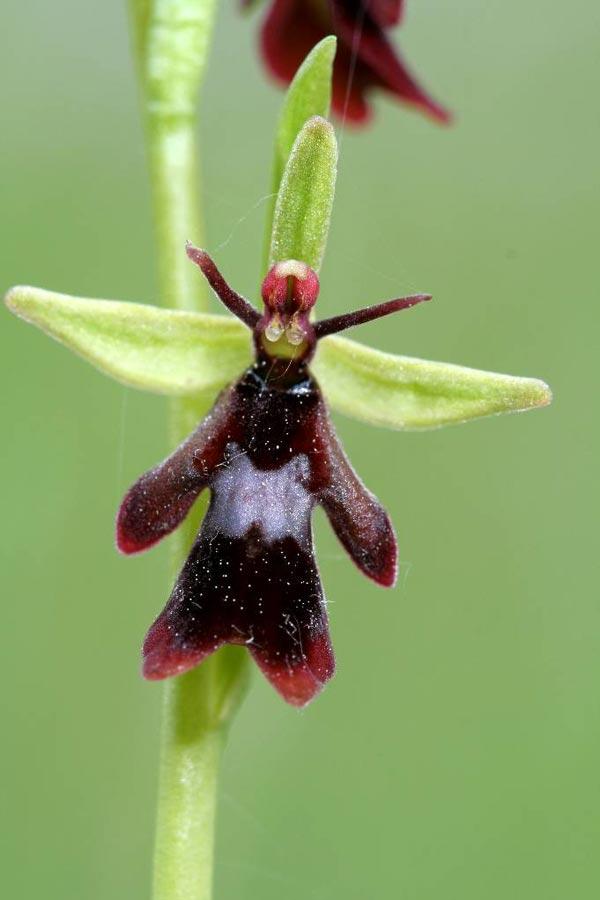 perierga.gr - Παράξενη ορχιδέα-μύγα ξεχωρίζει στο φυτικό βασίλειο!