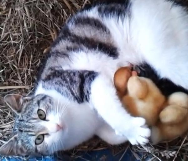 perierga.gr - Γάτα υιοθετεί παπάκια!