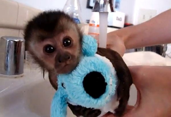perierga.gr - Χαριτωμένο πιθηκάκι παίρνει το μπάνιο του!