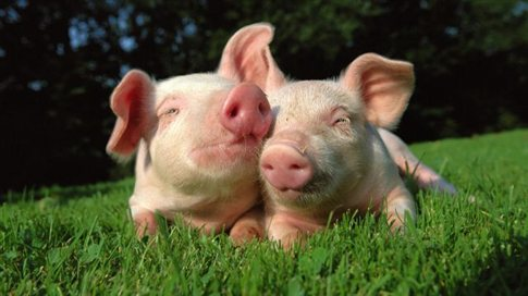 Perierga.gr - Γουρούνια χασικλήδες «δίνουν περισσότερες μπριζόλες»!