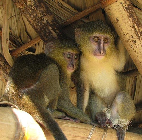 perierga.gr - Ο πίθηκος με τα ανθρώπινα μάτια!