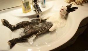 perierga.gr - Σταν Ελλάδα τα κουνέλια κάνουν και... μπάνιο!