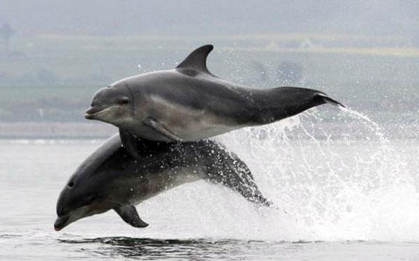 Perierga.gr - Δελφίνια κυνηγούν σολωμούς και μαγεύουν!