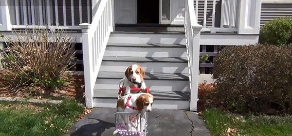 perierga.gr - Σκύλος πηγαίνει την αδελφή του βόλτα στο πάρκο!